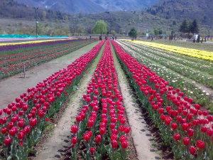 Srinagar-1.jpgtulip garden