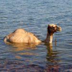 swimming camel